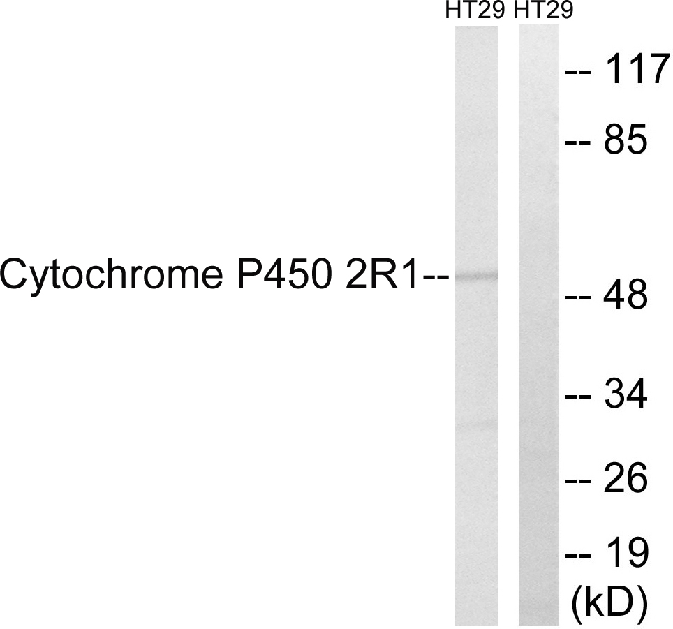 CYP2R1 Antibody (OAAF02954) in HT-29 cells using Western Blot