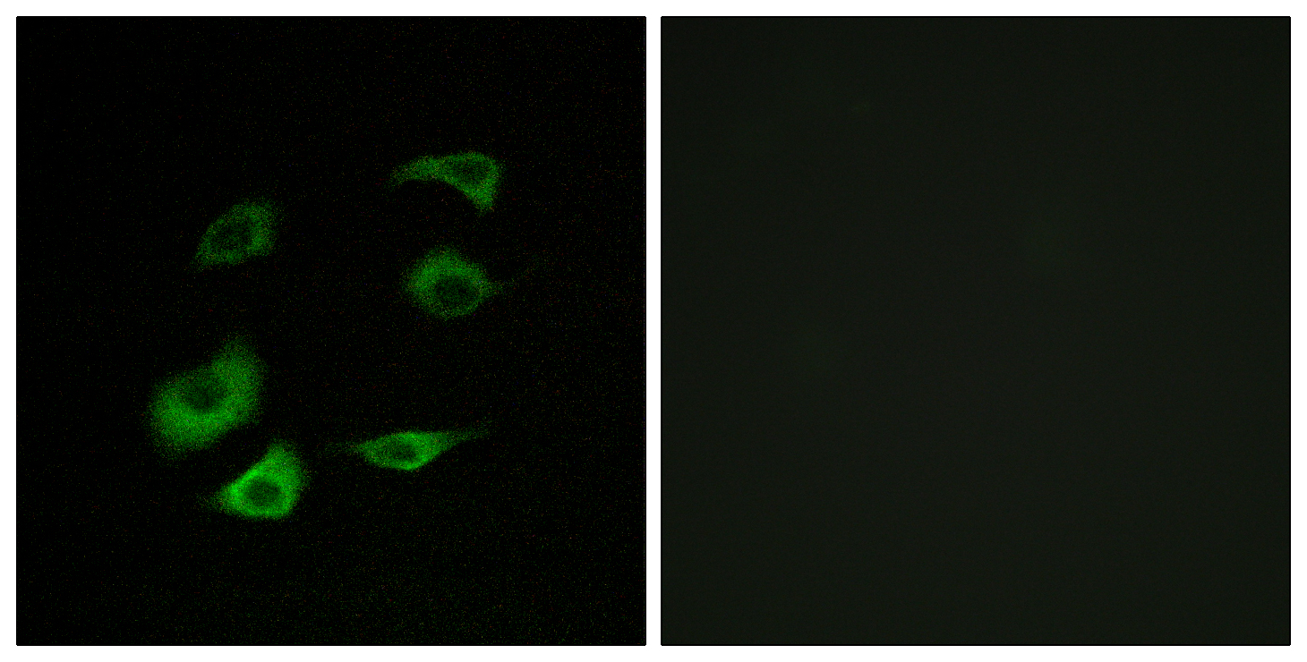 ANAPC1 Antibody (OAAF02992) in HepG2 cells using Immunofluorescence