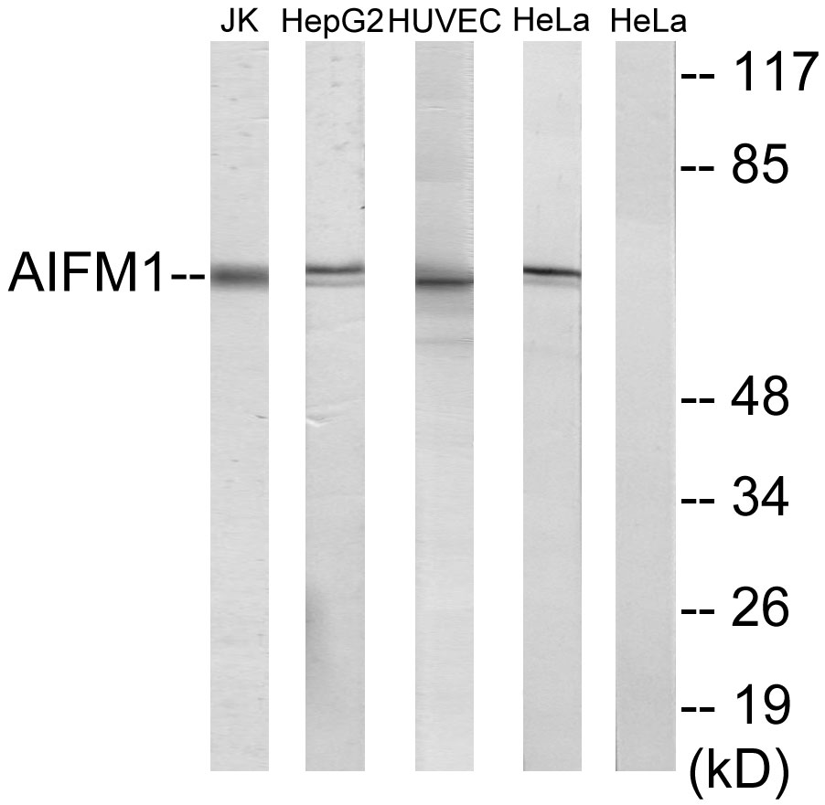 AIFM1 Antibody (OAAF02997) in Jurkat, HepG2, HUVEC, HeLa cells using Western Blot