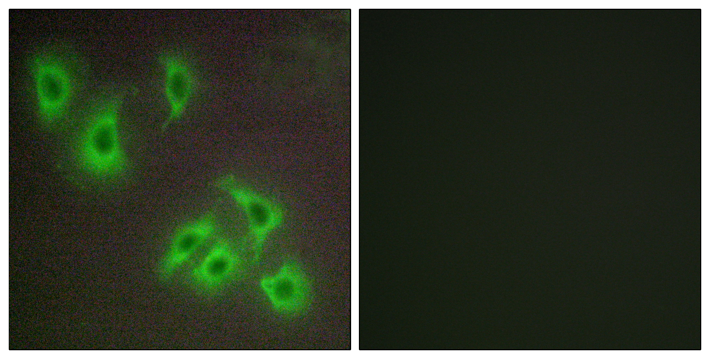 BCL2L2 Antibody (OAAF03003) in HepG2 cells using Immunofluorescence