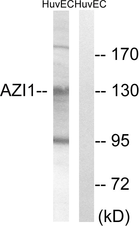 AZI1 Antibody (OAAF03167) in HUVEC cells using Western Blot