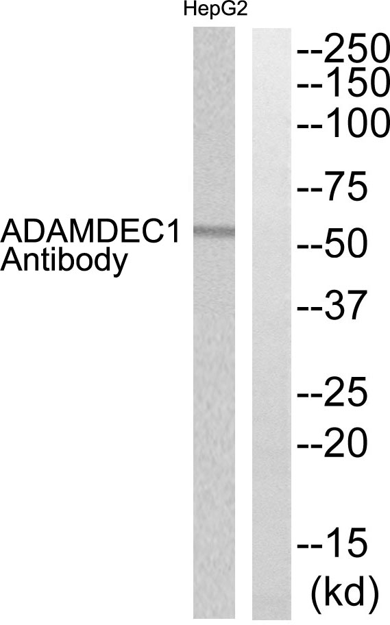 ADAMDEC1 Antibody (OAAF03234) in HepG2 cells using Western Blot