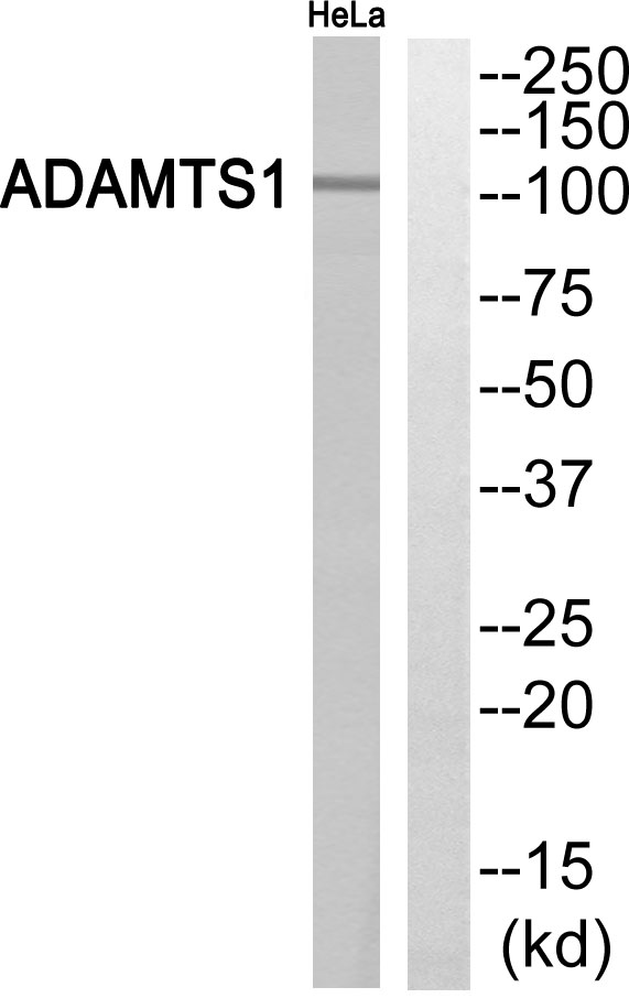 ADAMTS1 Antibody (OAAF03235) in HeLa cells using Western Blot