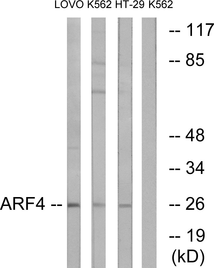 ARF4 Antibody (OAAF03242) in LOVO, K562, HT-29 cells using Western Blot