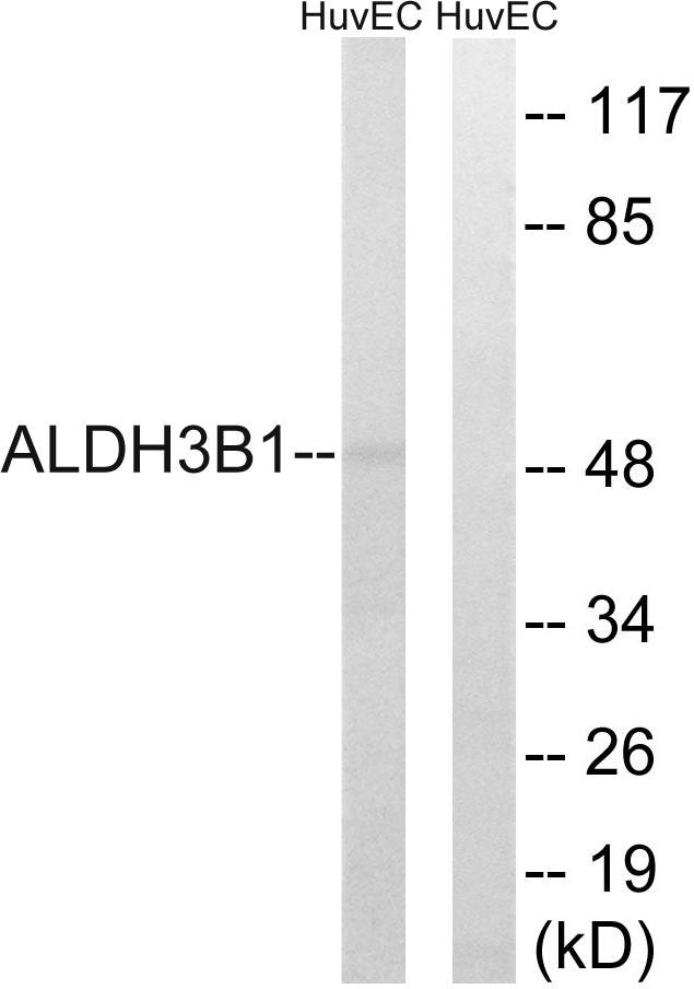 ALDH3B1 Antibody (OAAF03251) in HuvEc cells using Western Blot