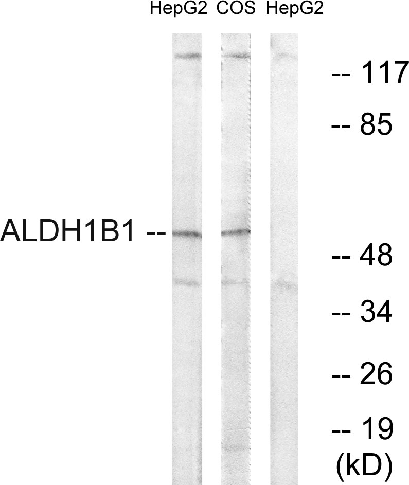 ALDH1B1 Antibody (OAAF03252) in HepG2, COS cells using Western Blot