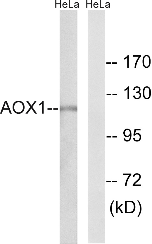 AOX1 Antibody (OAAF03253) in HeLa cells using Western Blot