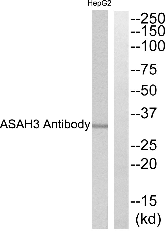 ACER1 Antibody (OAAF03259) in HepG2 cells using Western Blot