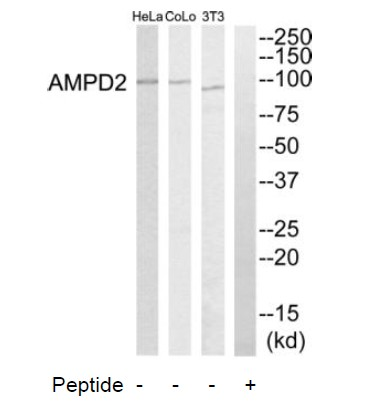 AMPD2 Antibody (OAAF03268) in HeLa, NIH-3T3, COLO205 cells using Western Blot