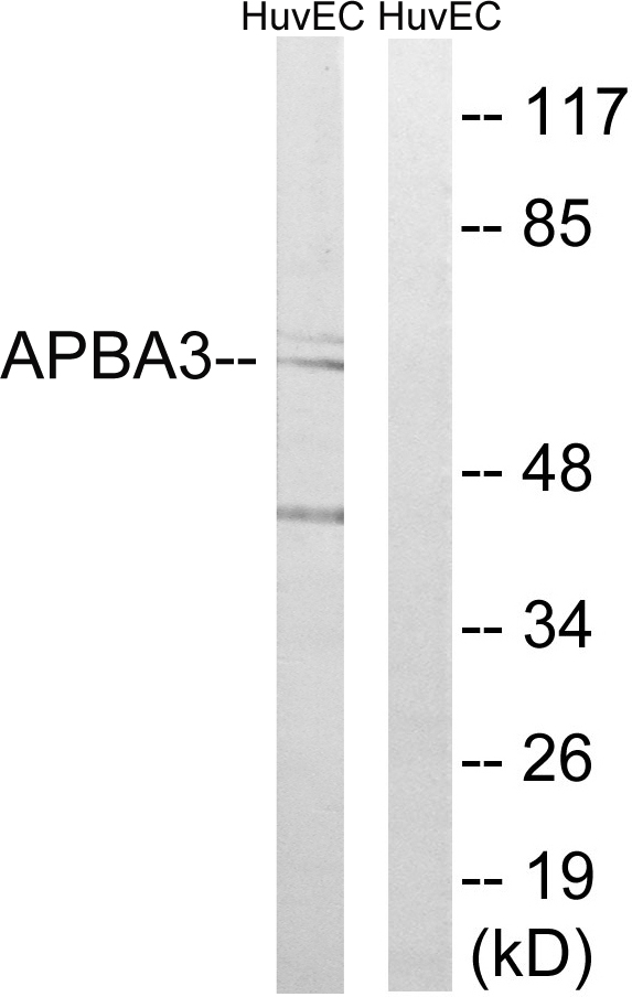APBA3 Antibody (OAAF03271) in HUVEC cells using Western Blot