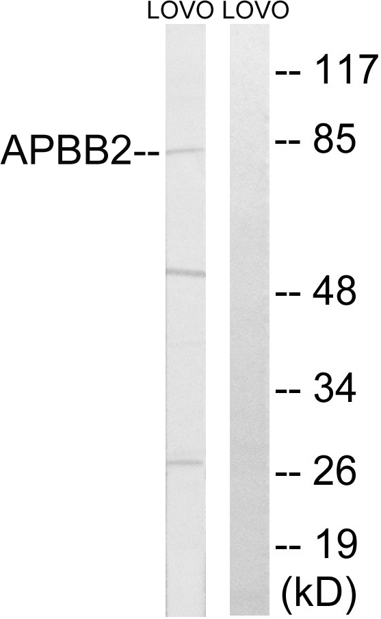 APBB2 Antibody (OAAF03273) in LOVO cells using Western Blot