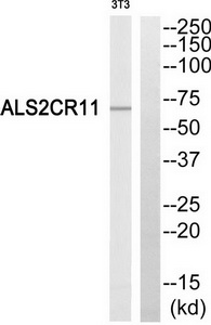 ALS2CR11 Antibody (OAAF03277) in NIH-3T3 cells using Western Blot