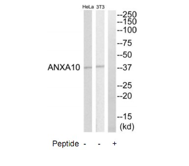 ANXA10 Antibody (OAAF03287) in HeLa , NIH-3T3 cells using Western Blot
