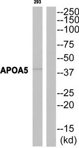 APOA5 Antibody (OAAF03290) in 293 cells using Western Blot