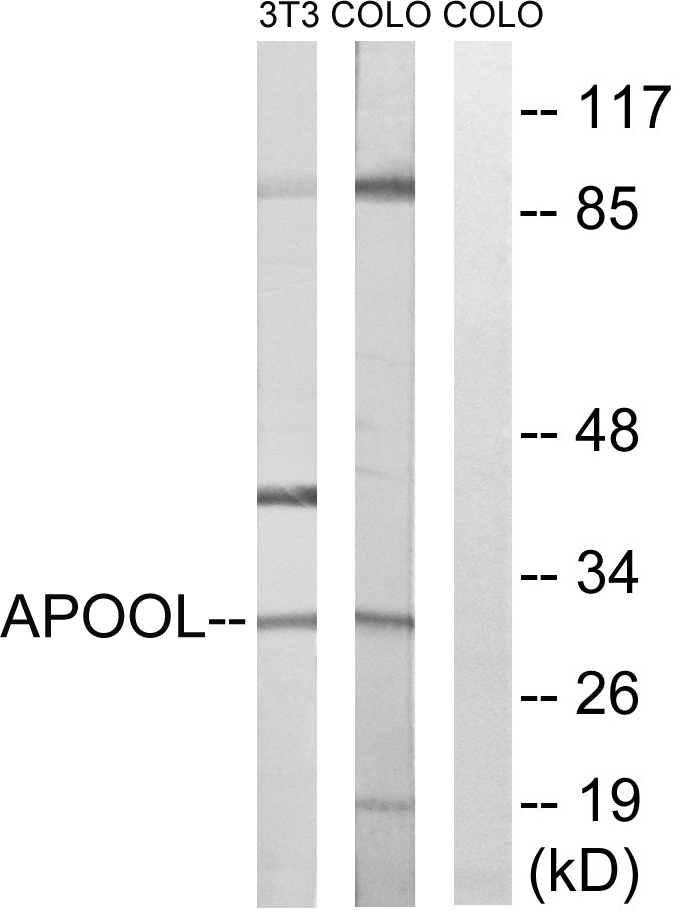 APOOL Antibody (OAAF03292) in 3T3, COLO cells using Western Blot