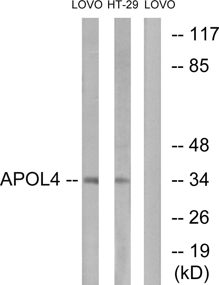 APOL4 Antibody (OAAF03295) in LOVO, HT-29 cells using Western Blot