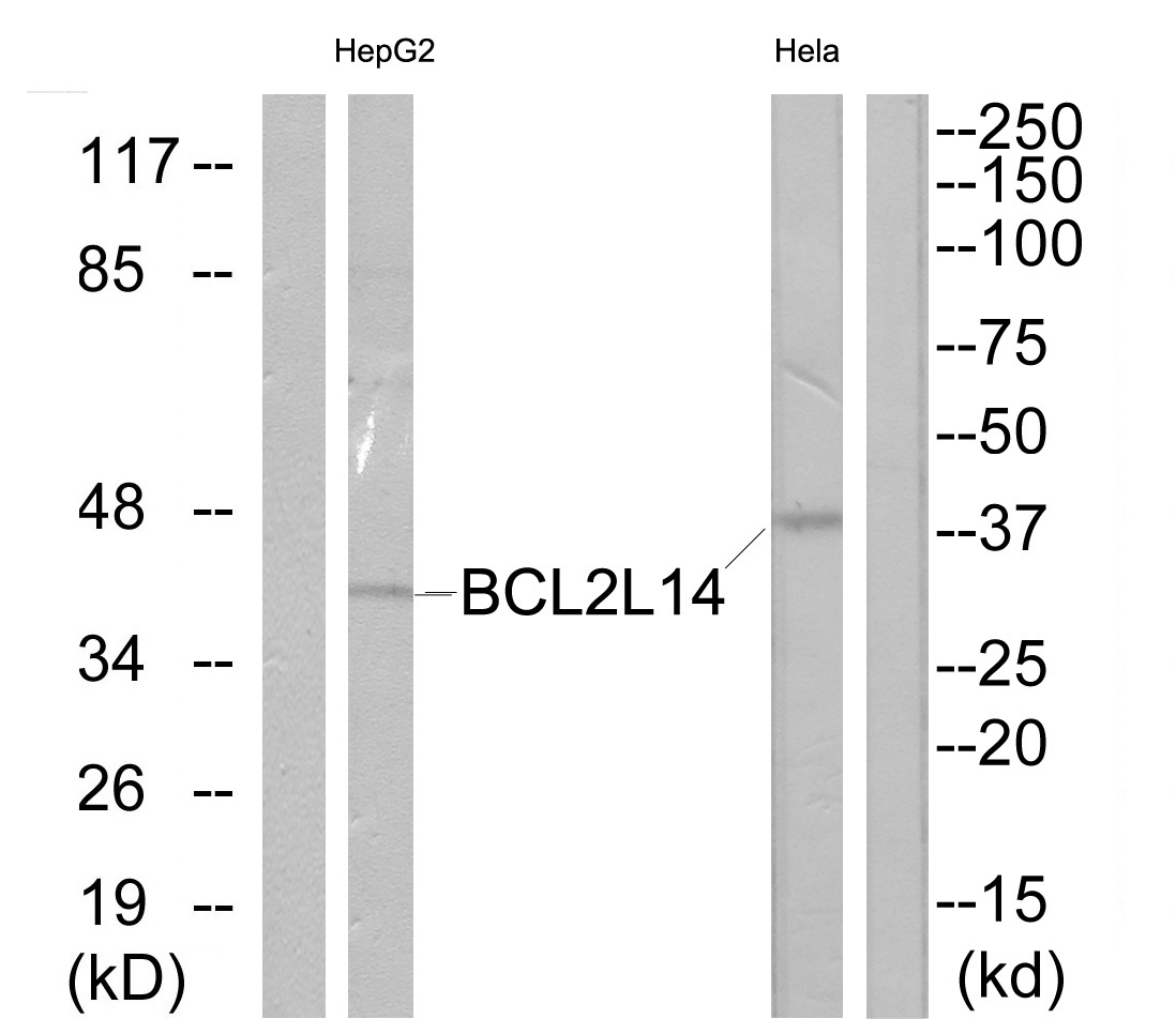BCL2L14 Antibody (OAAF03297) in Hela, HepG2 cells using Western Blot