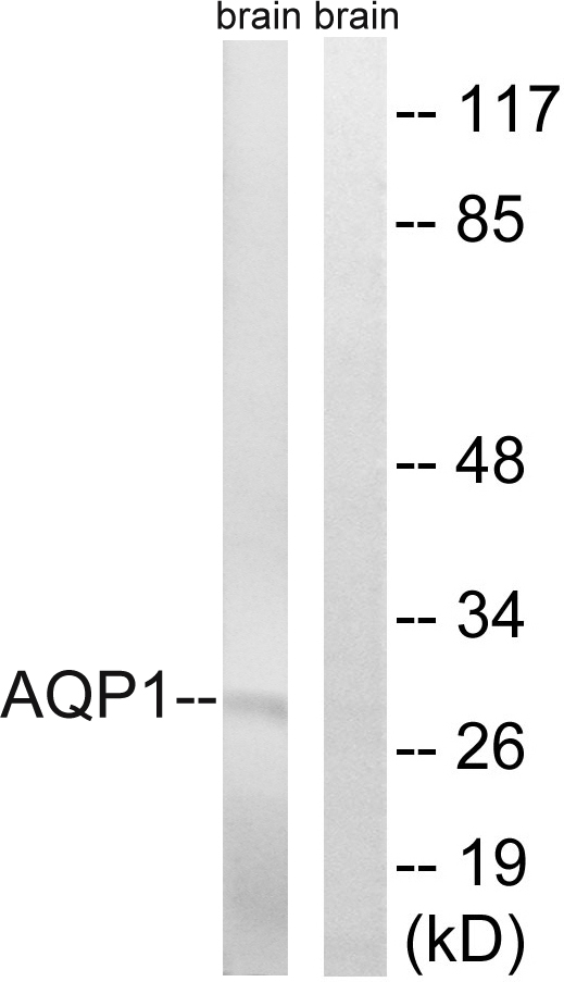 AQP1 Antibody (OAAF03298) in Rat brain cells using Western Blot