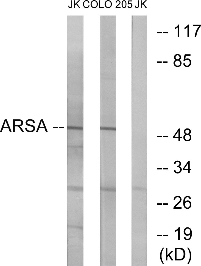 ARSA Antibody (OAAF03305) in Jurkat, COLO cells using Western Blot