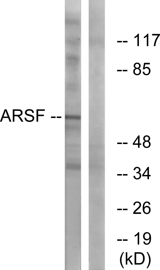 ARSF Antibody (OAAF03309) in COS-7 cells using Western Blot