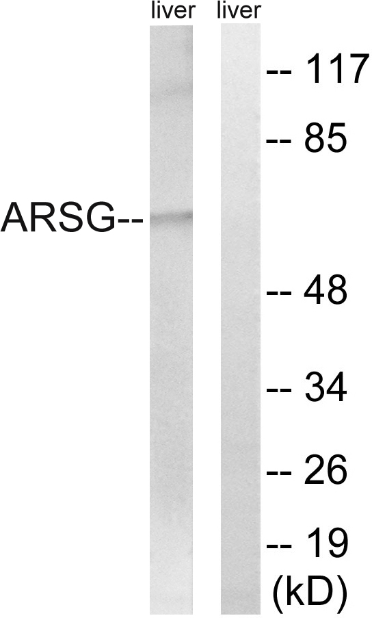 ARSG Antibody (OAAF03310) in Mouse liver cells using Western Blot