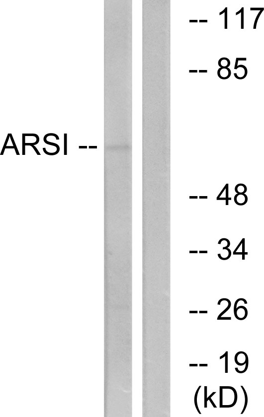 ARSI Antibody (OAAF03311) in COS7 cells using Western Blot