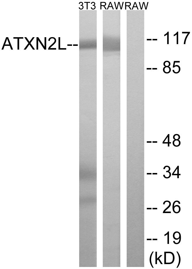 ATXN2L Antibody (OAAF03314) in 3T3, RAW264.7 cells using Western Blot