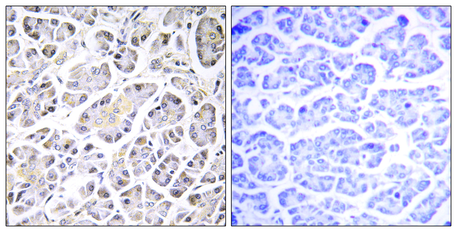 ATP5G3 Antibody (OAAF03321) in Human pancreas cells using Immunohistochemistry