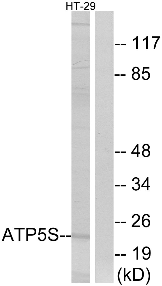 ATP5S Antibody (OAAF03325) in HT-29 cells using Western Blot