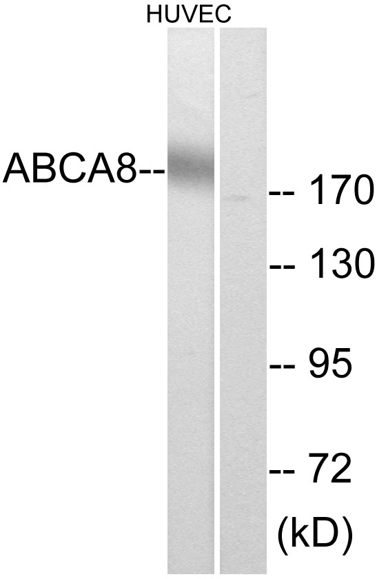 ABCA8 Antibody (OAAF03328) in HUVEC cells using Western Blot