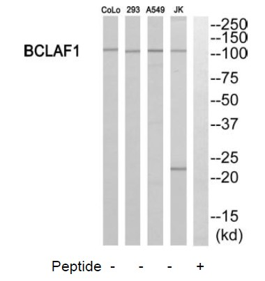 BCLAF1 Antibody (OAAF03358) in 293, Jurkat, A549 cells using Western Blot