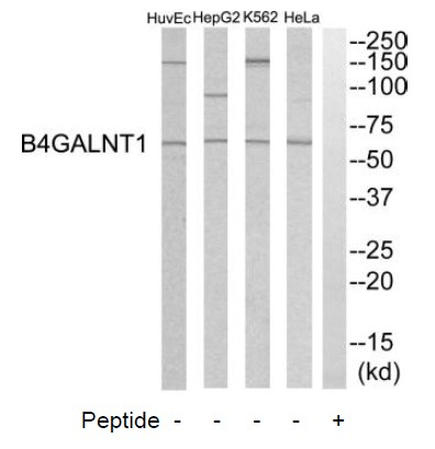 B4GALNT1 Antibody (OAAF03369) in HeLa, K562, HepG2, HuvEC cells using Western Blot