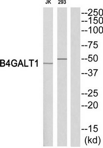 B4GALT1 Antibody (OAAF03370) in Jurkat, 293 cells using Western Blot