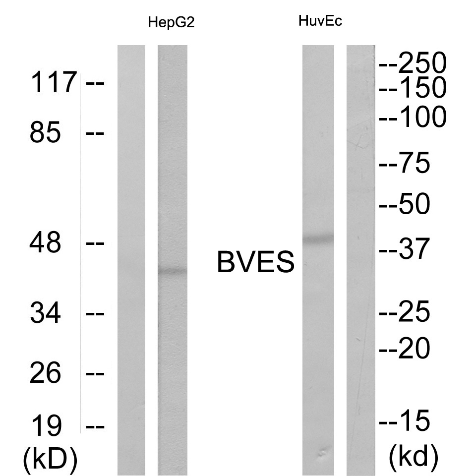 BVES Antibody (OAAF03378) in HepG2, HuvEc cells using Western Blot