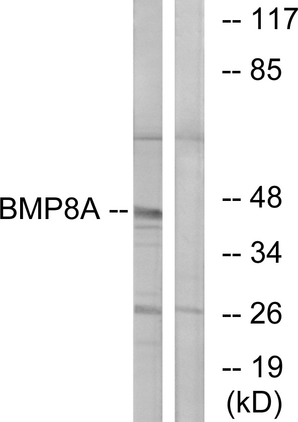 BMP8A Antibody (OAAF03382) in COLO cells using Western Blot