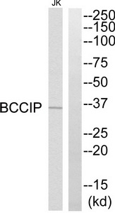 BCCIP Antibody (OAAF03390) in JurKat cells using Western Blot