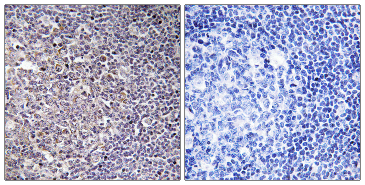 BCAS4 Antibody (OAAF03393) in Human tonsil cells using Immunohistochemistry