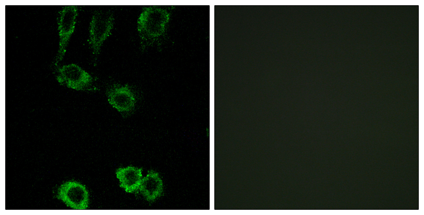 CNN2 Antibody (OAAF03410) in A549 cells using Immunofluorescence