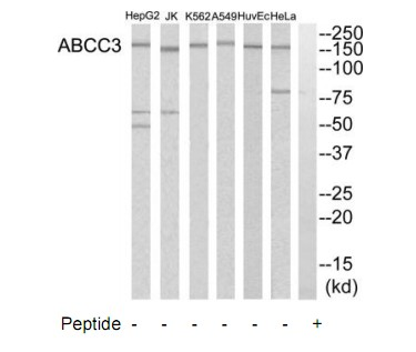 ABCC3 Antibody (OAAF03416) in HeLa, A549, Jurkat, HuvEc, K562, HepG2 cells using Western Blot