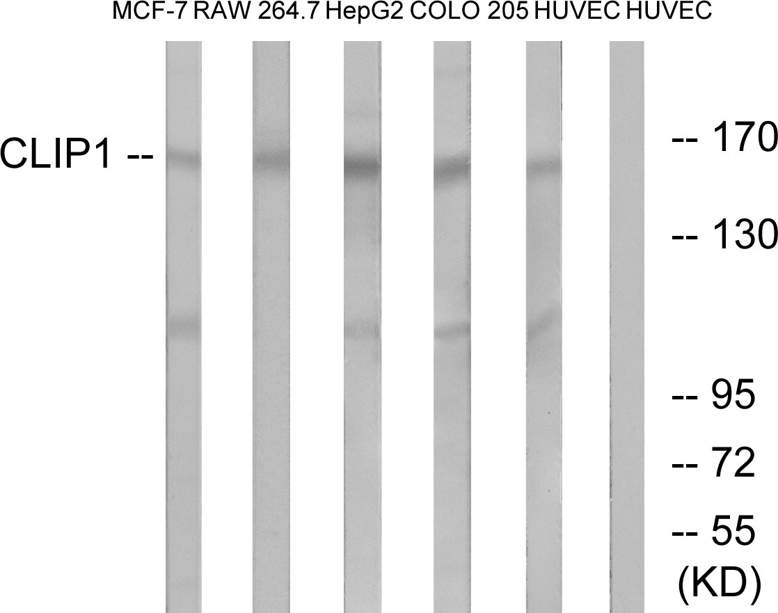 CLIP1 Antibody (OAAF03418) in MCF-7, RAW264.7, HepG2, COLO, HUVEC cells using Western Blot