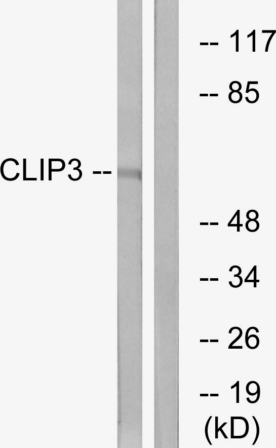 CLIP3 Antibody (OAAF03420) in A549 cells using Western Blot