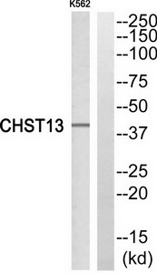 CHST13 Antibody (OAAF03424) in K562 cells using Western Blot