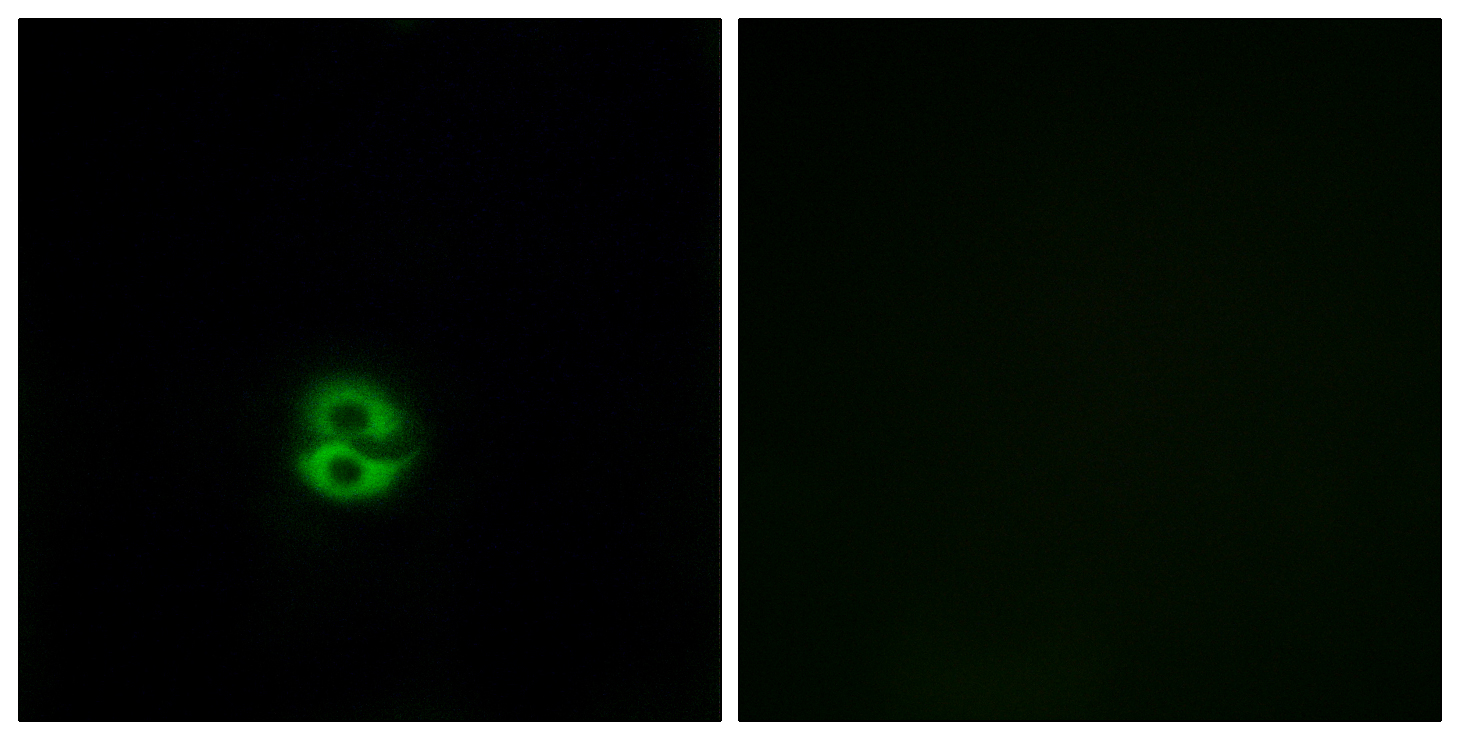 CHST6 Antibody (OAAF03426) in A549 cells using Immunofluorescence