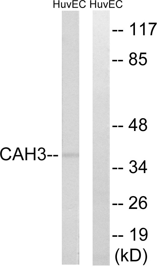 CA3 Antibody (OAAF03433) in HUVEC cells using Western Blot