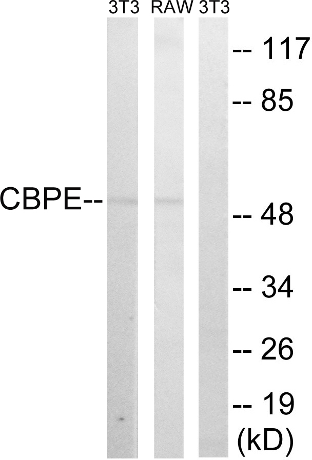 CPE Antibody (OAAF03442) in 3T3, RAW264.7 cells using Western Blot