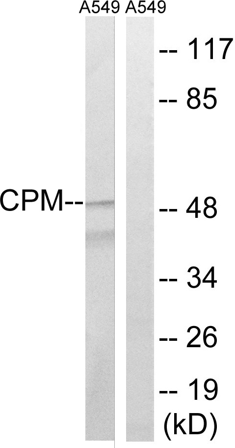 CPM Antibody (OAAF03443) in A549 cells using Western Blot