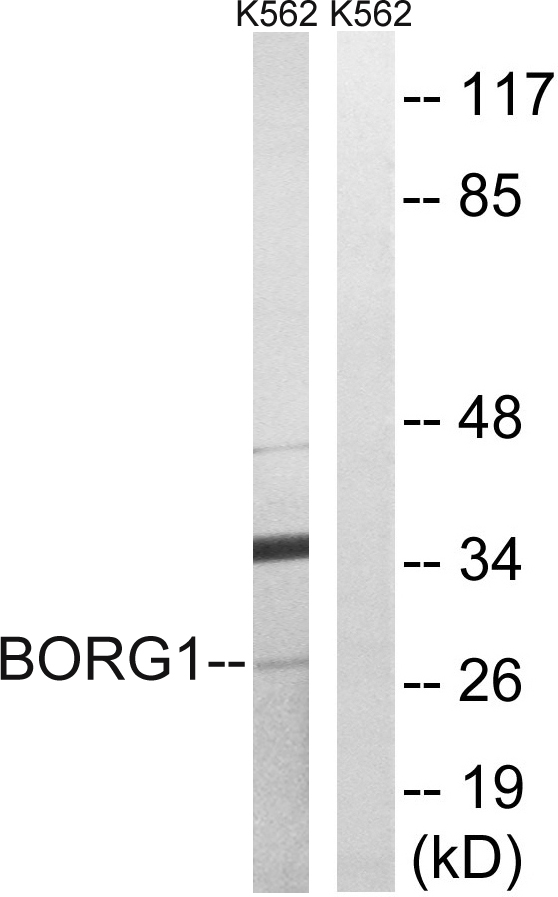 CDC42EP2 Antibody (OAAF03454) in K562 cells using Western Blot