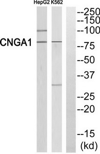 CNGA1 Antibody (OAAF03481) in HepG2, K562 cells using Western Blot