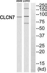 CLCN7 Antibody (OAAF03484) in A549, LOVO cells using Western Blot