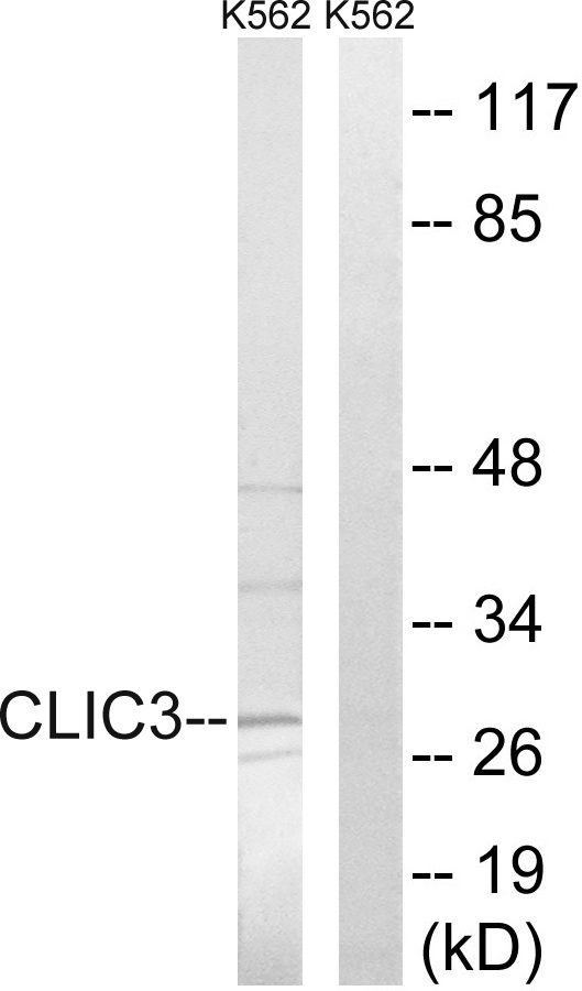CLIC3 Antibody (OAAF03487) in K562 cells using Western Blot